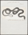 Coluber aesculapii - 1700-1880 - Print - Iconographia Zoologica - Special Collections University of Amsterdam - UBA01 IZ12100249.tif