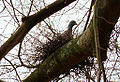 Columba palumbus -nest in tree-8.jpg