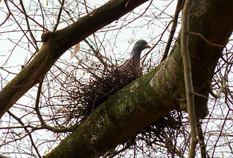 Common wood pigeon - Adult sitting on its nest in a tree