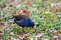 Common-moorhen-3.jpg