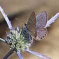 Common Blue. Polyommatus icarus f. celina. male. - Flickr - gailhampshire.jpg