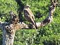 Common Buzzard IMG 1513.jpg