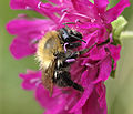Common Carder-bee (Bombus pascuorum) worker (10088088403).jpg