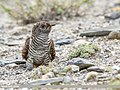 Common Cuckoo (Cuculus canorus) (50364305408).jpg
