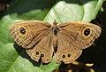 Common Five-ring -Ypthima baldus.JPG