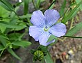 Common Flax or Linseed (Linum usitatissimum) flower. Chapeltoun North Ayrshire.jpg