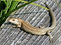 Common Lizard. Lacerta vivipara (27742089869).jpg