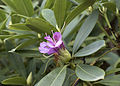 Common Rhododendron - Rhododendron ponticum 02.jpg