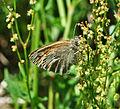 Common Ringlet (Coenonympha tullia) (7170339603).jpg