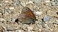 Common Ringlet (Coenonympha tullia) - Guelph, Ontario 01.jpg