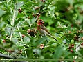 Common Rosefinch (Carpodacus erythrinus) (15887651662).jpg