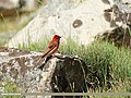 Common Rosefinch (Carpodacus erythrinus) (32008323601).jpg