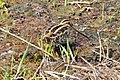 Common Snipe - വിശറിവാലൻ ചുണ്ടൻ കാട (13033318953).jpg
