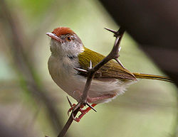 Common Tailorbird (Orthotomus sutorius) in Hyderabad, AP W IMG 7561.jpg