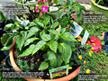 Companion-plant-peppers.png