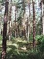 Conifers in Egypt Woods, near Farnham Common - geograph.org.uk - 34464.jpg