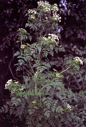 Coniine - The poison hemlock plant.