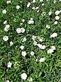 Convolvulus arvensis-20140703 120322.jpg