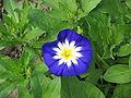 Convolvulus tricolor02.jpg
