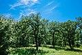 Copacii din ocolul silvic Călinești.jpg