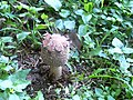 Coprinus mushroom BR Hills 01.jpg