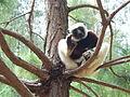 Coquerel's Sifaka, Madagascar 1.jpg