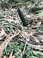 Cordyceps - Lilly Pilly Gully, Wilson's Promotory National Park.jpg