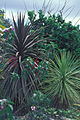 Cordyline australis Starr 980529-4299.jpg