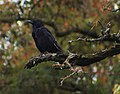 Corvus corone (KPFC).jpg