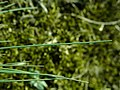 Corynephorus canescens 2019-04-05 9206.jpg