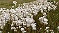 Cotton Grass (16055054052).jpg