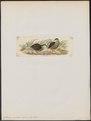 Coturnix sordidus - 1820-1863 - Print - Iconographia Zoologica - Special Collections University of Amsterdam - UBA01 IZ17100131.tif