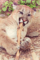 Cougar Chewing a Stick (18217315201).jpg