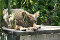 Coyote Glare (2760253385).jpg