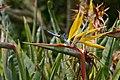 Crane Flower (Strelitzia reginae) (32170243033).jpg