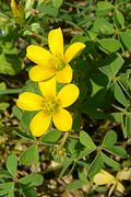 Creeping Yellow Woodsorrel (991012239).jpg