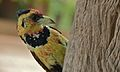 Crested Barbet (Trachyphonus vaillantii) (6032804402).jpg