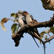 Crested Treeswift (Hemiprocne coronata) in Kawal WS, AP W IMG 2133