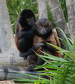 Crested capuchin Cebus robustus grooming.jpg
