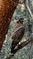 Crested serpent Eagle.jpg