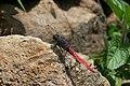 Crimson tailed marsh hawk Orthetrum pruinosum from Valparai Anaimalai Hills IMG 4661.jpg