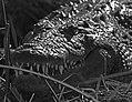 Croc (6246232232).jpg