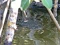 Crocodile (4002267173).jpg