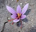 Crocus sativus, saffron (40).jpg