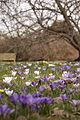 Crocuses in Kew Gardens (4445372381).jpg