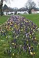 Crocuses in Waddon - geograph.org.uk - 1192104.jpg