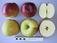 Cross section of Berna, National Fruit Collection (acc. 1999-006).jpg