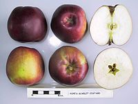 Cross section of Pope's Scarlet Costard, National Fruit Collection (acc. 1949-213).jpg