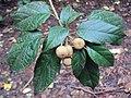 Croton malabaricus 24.JPG