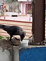 Crow eats icecream.jpg